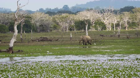 Ланка : Elephant and birds looking for food in a shallow swamp. inside yala National Park. a wildlife sanctuary in Sri Lanka. UltraHD stock footage