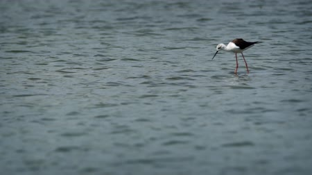 birding tours : Solitary pied stilt. observed on a safari adventure tour at Yala National Park. an important wildlife sanctuary in Sri Lanka. UltraHD stock footage Stock Footage