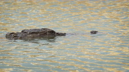 sindhu : Head and snout of solitary mugger crocodile. barely visible as he waits in ambush in Sri Lankan Lake. 4k UHD stock video Stock Footage