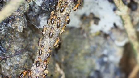 аккуратный : Dozens of tiny. subterranean termites in extreme closeup. crawling in an orderly swarm up a twig in their natural habitat. UltraHD 4k footage Стоковые видеозаписи