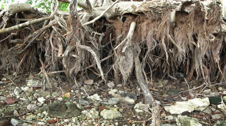 raiz : Exposed roots of a dead tree. undercut by wave action erosion. on the bank of a lake with low water levels. FullHD 1080p video