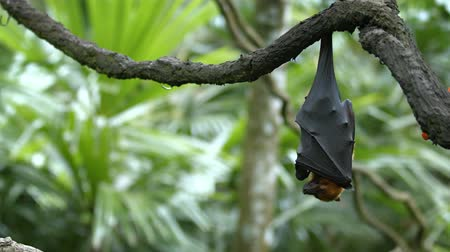 kalong : Pteropus (flying fox) on daytime rest upside down. Video UltraHD 4k