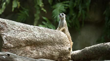 protects : One meerkat protects the family from attacks from the air. Video UltraHD 4k