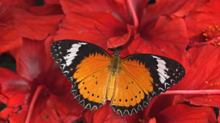 desenli : Leopard lacewing butterfly in closeup. with its orange. black and white wings fluttering against a background of red flowers. Video 1080p Stok Video