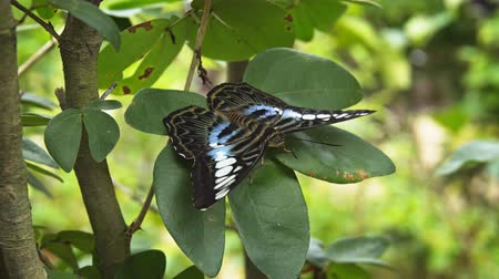 desenli : Lone specimen of Parthenos sylvia. with its typical black. blue and white patterned wings. perched on a green plant and resting. 4k footage 2160p