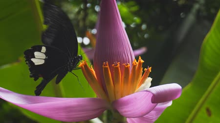 desenli : Single great helen butterfly flaps and flutters its wings as it circles a banana blossom. feeding on its nectar. UltraHD 4k video Stok Video