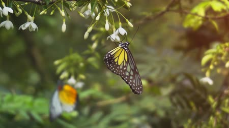 tiger butterfly : Yellow glassy tiger butterfly. with its typical. patterned wings. clings inverted while feeding from the nectar of a tiny. white flower. Video 1080p
