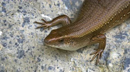 sunning : Brown skink. with its elongated body and scaly skin. sunning itself on a rock. UltraHD 4k video Stock Footage
