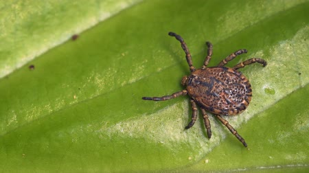 tick : Adult tick on the green leaf of the plant. Tropical forest of Thailand. Ultra HD video 4k