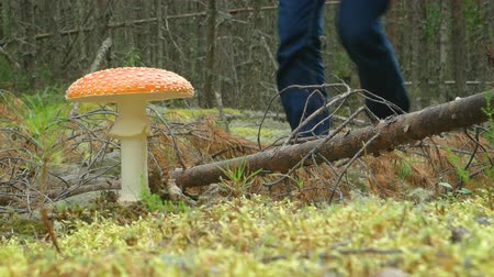 decomposition : Low angle perspective of a hiker walking past a big. fly agaric mushroom. sprouting from the ground in a northern forest. FullHD 1080p footage