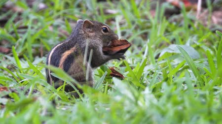 indian squirrel : Adorable. Sri Lankan chipmunk. making a snack of a fallen seed pod. Video 1920x1080 Stock Footage