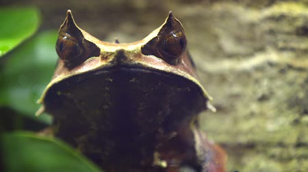 önlemek : Cute Malayan horned frog. sitting still to avoid detection. in his habitat. Video 1920x1080