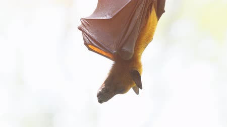 лиса : Solitary pteropus fruit bat. hanging upside down from a tree branch and wrapped in its leathery wings. in the wild. 4k Ultra HD video