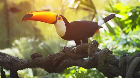 toucan : Adult toucan. with its distinctive. enormous. yellow beak. eating fruit from a tree branch in its habitat. UltraHD 4k video with sound.