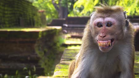 polonnaruwa : Wild macaque. agressively bares his teeth at the ancient ruins of a historical palace complex in Polonnaruwa. Sri Lanka. FullHD 1080p video