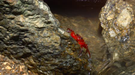 crab of the woods : Red. freshwater crab clings to a rock at the surface of a tropical. mountain stream in Phuket. Thailand. video 1080p with sound. Stock Footage