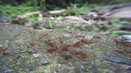 restraining : Weaver ants (Oecophylla) are engaged in their usual affairs. 1080p FullHD video