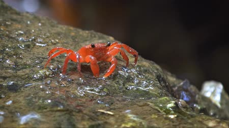 crab of the woods : Little. red. terrestrial crab. foraging for food and climbing over wet rocks beside a waterfall in Thailand. FullHD 1080p video with sound.