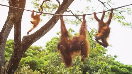 karakteristik : Baby orangutan and his mother. with their characteristic red hair hanging from a high.  4k video Stok Video