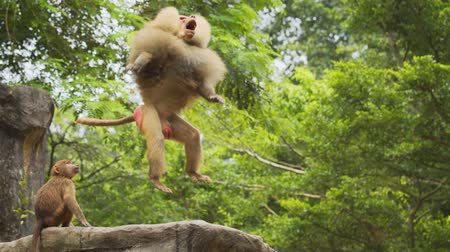 majom : Mature male baboon leaps in the air to catch tossed morsels of food at a popular animal park. 4k Ultra HD video