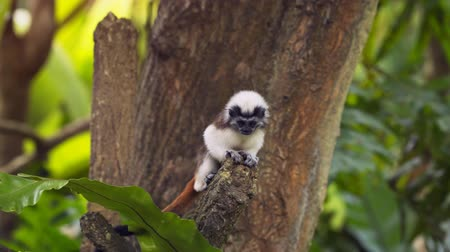 tamarin : Baby. cotton-top tamarin. with its thick. brown tail and white crest. climbing and leaping from a tree branch. 4k video