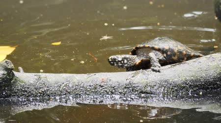 deslizamento : Black pond turtle. attempts to climb out of the water and onto a floating log. before tumbling back into the water. 4k Ultra HD video