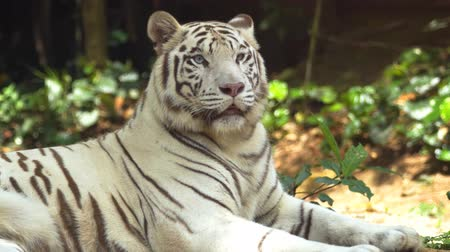 bengália : Solitary white tiger in closeup. laying in the shade and panting. in its habitat. UltraHD 4k footage