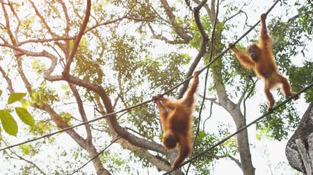 borneo : Pair of young orangutans. with their typical red hair. swinging from thick vines. 4k video with jungle sounds.