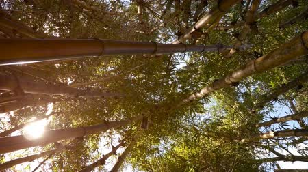 špičatý : In bamboo thickets - view upwards. FullHD stock footage Dostupné videozáznamy