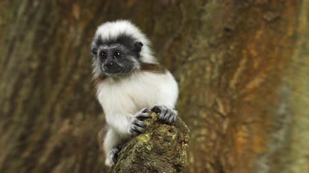 tamarin : The young cotton-top tamarin (Saguinus oedipus) on the tree. Video FullHD 1080p