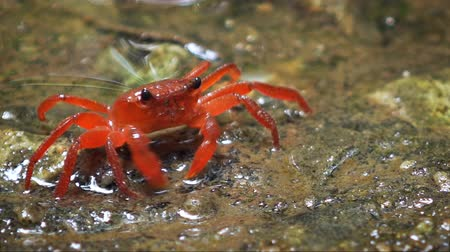 rákok : Perisesarma - red freshwater crab in the forest puddle. Thailand. Phuket. Video FullHD 1080p with natural sound Stock mozgókép