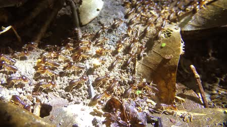 subterranean : Horde of subterranean. tropical termites. swarming on the surface to collect edible debris in this Phuket. Thailand jungle wilderness.