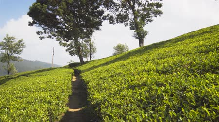 plantio : Early morning sunshine illuminates the bright green leaves of densely planted tea bushes on a hillside plantation in Nuwara Eliya. Sri Lanka. 4k Ultra HD video