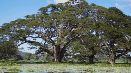 tropikal iklim : Mature. tropical trees growing from the shallow waters of Tissa Lake near Tissamaharama. Sri Lanka.