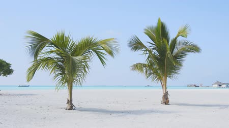 döküm : Two young palm trees growing from the white sand of an exotic. tropical beach paradise with crystal clear water in the Maldives. Stok Video