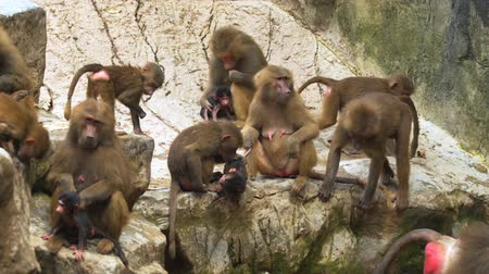 baboon : Large. family group of baboons. with animals of varying ages. congregating on a rocky outcropping. 4k video