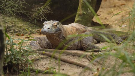 draak : De Komodovaraan (Varanus komodoensis). ook bekend als de Komodo-monitor die in struikgewas rust. Voorraadlengte in 4k resolutie Stockvideo