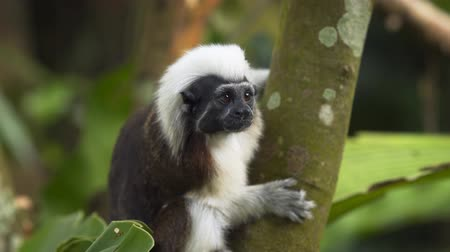 wilderness area : The cotton-top tamarin (Saguinus oedipus) in the forest. Stock footage in 4k resolution