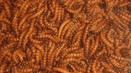 worms : Disgusting bug larvae. Living frightening and disgusting background. Video 4k