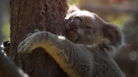 kürk : Funny Koala sleeps hugging a tree. 4k Ultra HD video