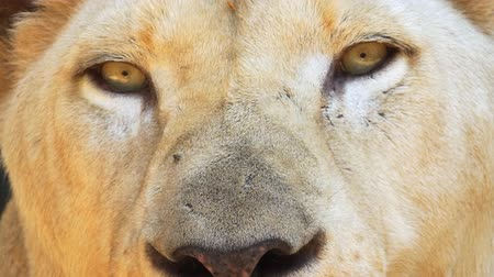 csúcs : Extreme closeup clip of a mature. female African lions eyes and nose. as she rests in the shade. FullHD 1080p video Stock mozgókép