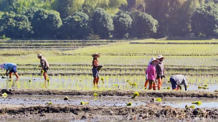 waders : CHIANG MAI. THAILAND JAN 2018: Laborers planting rice on a farm near Chiang Mai. Ultra HD 4k video