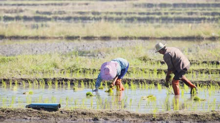 waders : CHIANG MAI. THAILAND JAN 2018: Workers plant rice in a shallow paddy on a farm near Chiang Mai. 4k stock footage