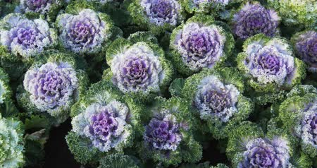 jarmuż : Several specimens of green and lavender. ornamental kale. growing in neat rows in a private garden. DCI 4k video Wideo