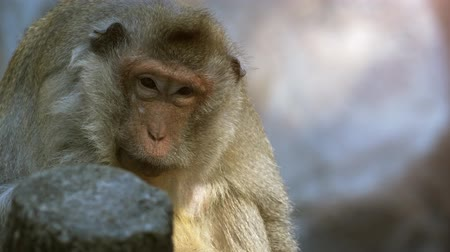 long tailed macaque : Cute. wild. crab eating macaque. also known as a long tailed macaque. relaxing on a rock in is natural habitat. 4k stock footage