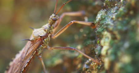 antennae : Little brown heteroptera bug with thorny spikes on his back. in extreme closeup with shifting. selective focus. DCI 4k video Stock Footage