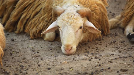 beran : Young ram. lying down and resting on sandy ground at this rural farm. 4k stock footage Dostupné videozáznamy