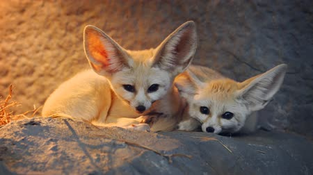 zsír : Pair of adorable. wild fennec foxes. cuddled together at the entrance to their rocky den. 4k stock footage