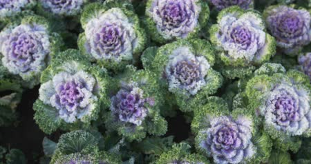 jarmuż : Decorative cabbage - Ornamental kale. 4k shot with zoom effect. Wideo