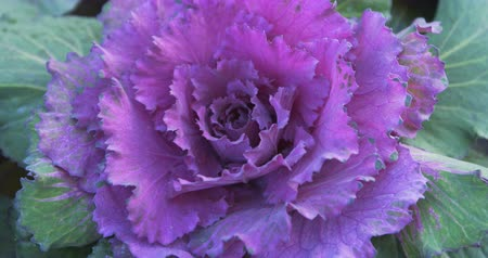 jarmuż : Tracking closeup of the brilliant. violet leaves of an ornamental kale plant in a private garden. DCI 4k video